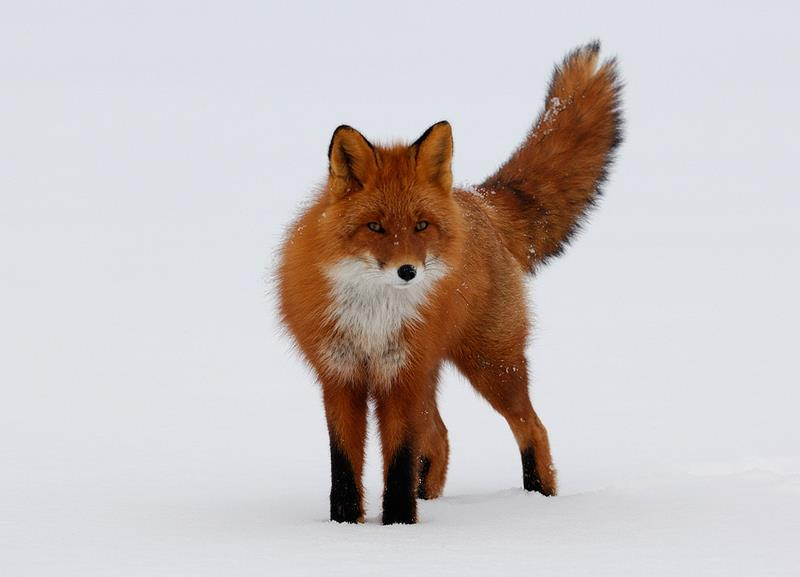Fox Power Animal Symbol Of Camouflage Quick Wit Cunning Agility